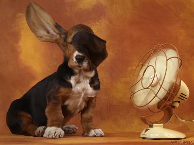 20070502202928-basset-hound.jpg