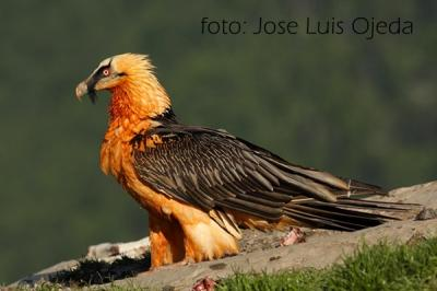 20140301134931-quebrantahuesos-jose-luis-ojeda.jpg