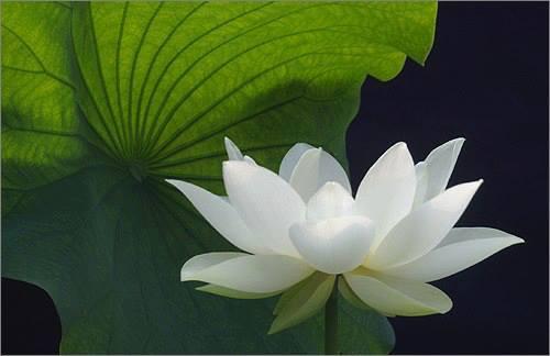 20150502215906-lotus.jpg